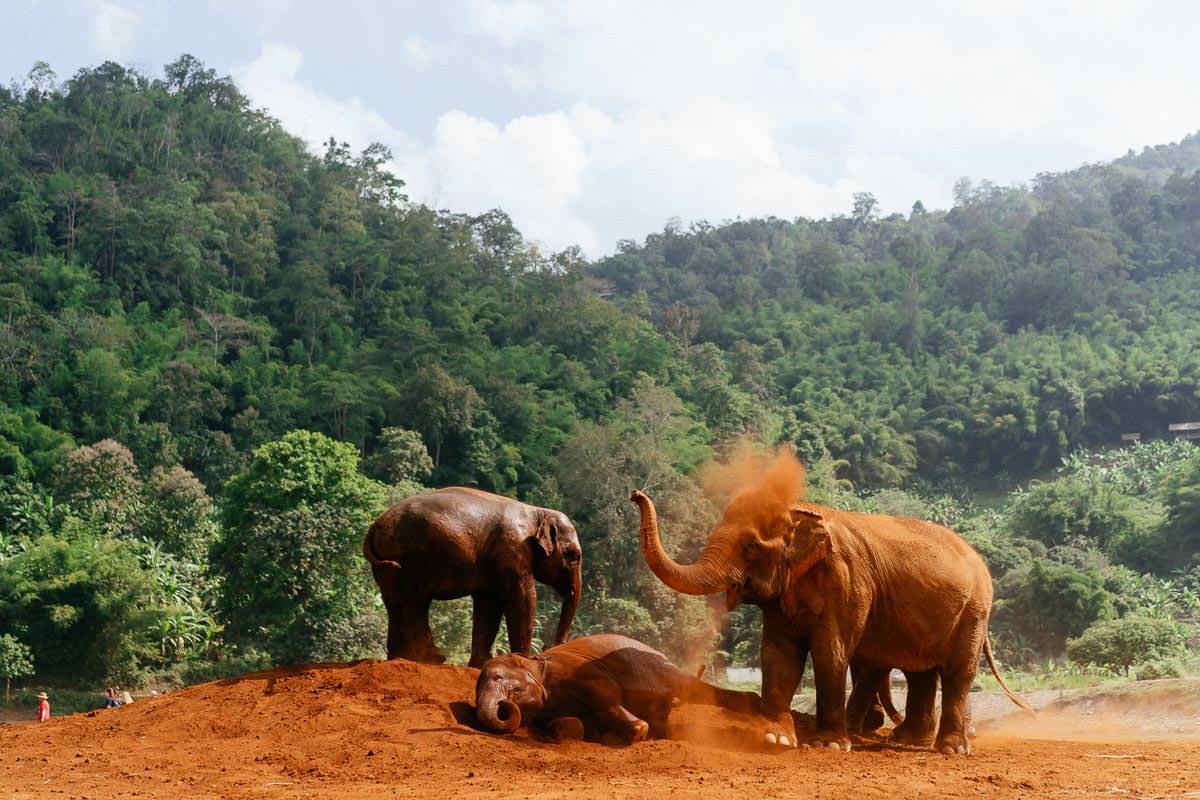 Schlammschlacht unter Elefanten.