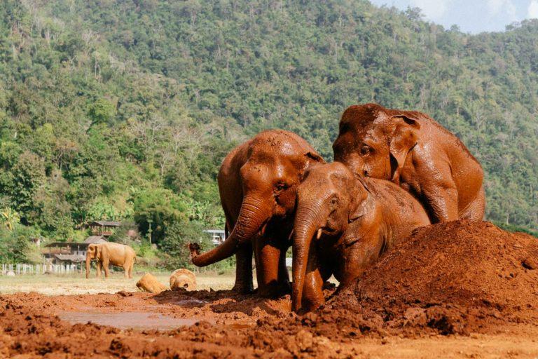 Drei Elefanten im Schlamm