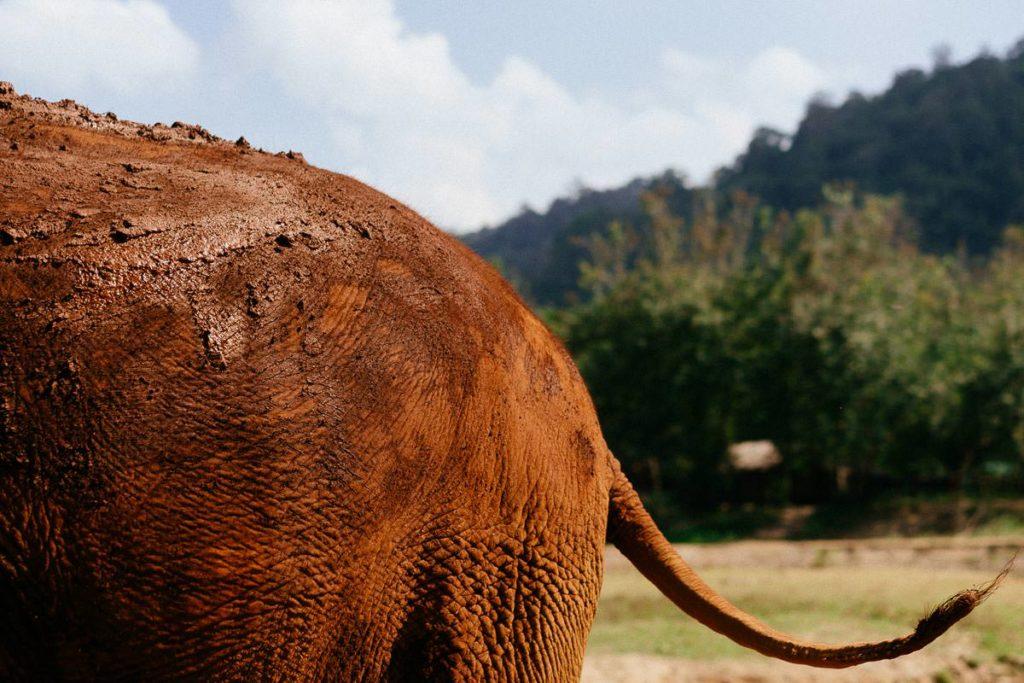 Nahaufnahme eines Elefanten-Hinterteils