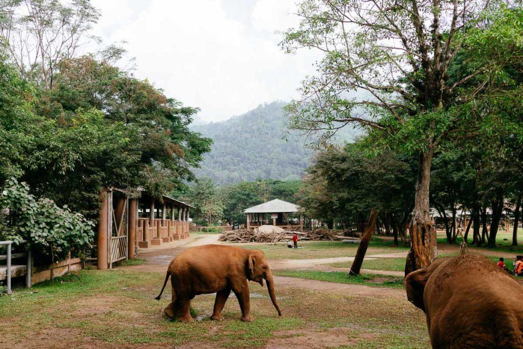 Ein Baby-Elefant ist auf dem Weg zu seiner Herde