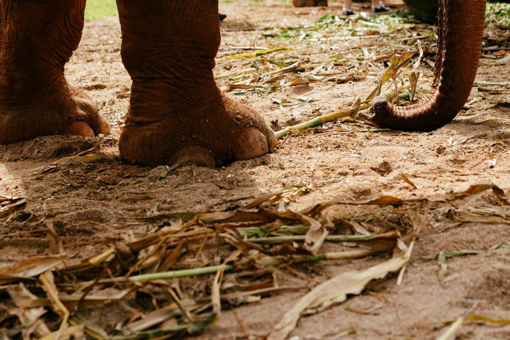 Nahaufnahme eines Elefantenfußes im Schlamm