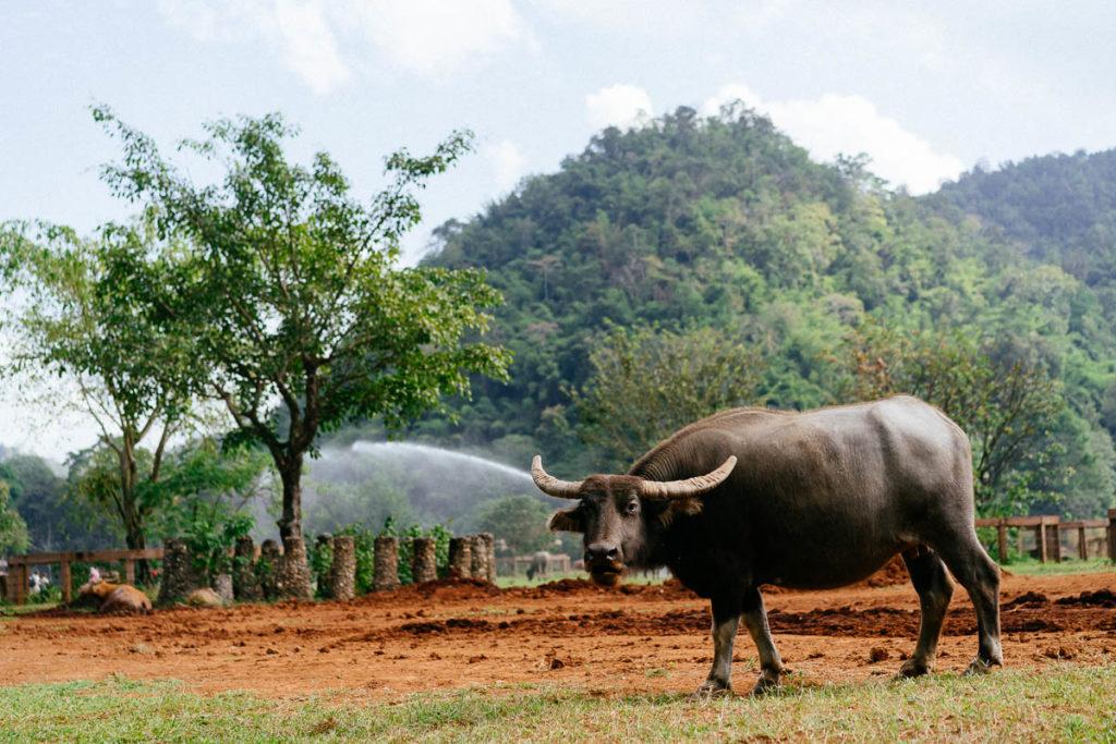 Wasserbüffel in Großaufnahme